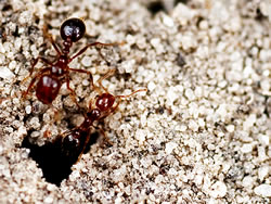 Two red imported fire ants coming out of a hole in the soil