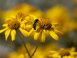Bee on yellow wildflowers to represent organic pest control