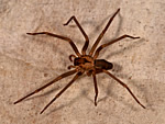 Arizona Brown Spider