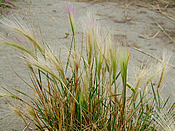 Clump of Foxtail Grass in Sedona, Arizona