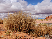 A Tumbleweed in the Verde Valley
